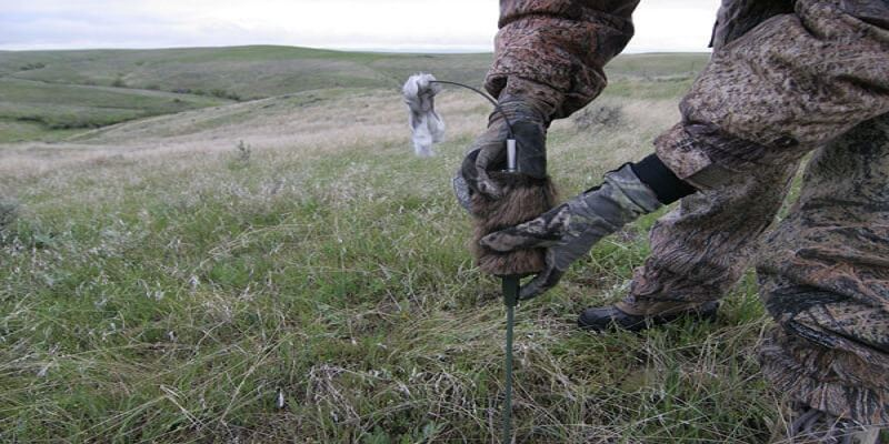 using coyote decoys