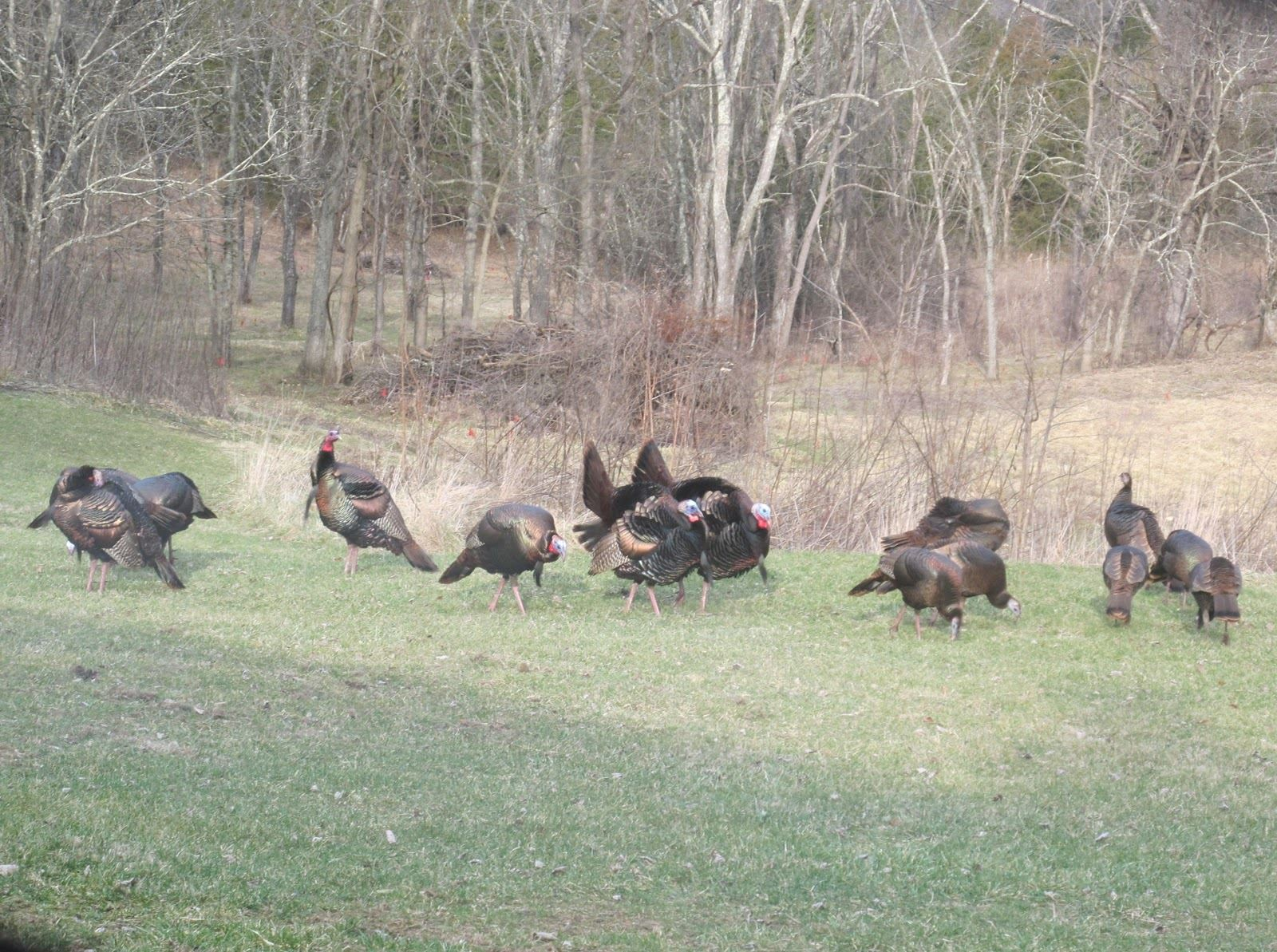 turkey laying an ambush tips