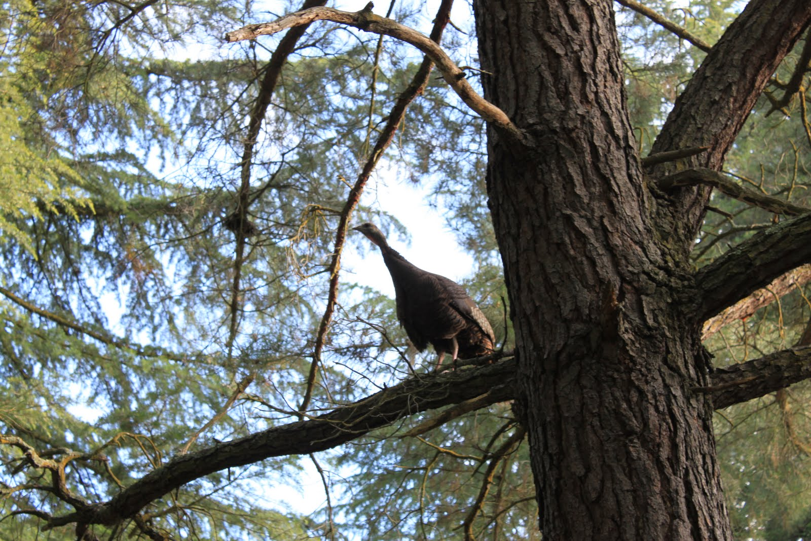 turkey roosting tips