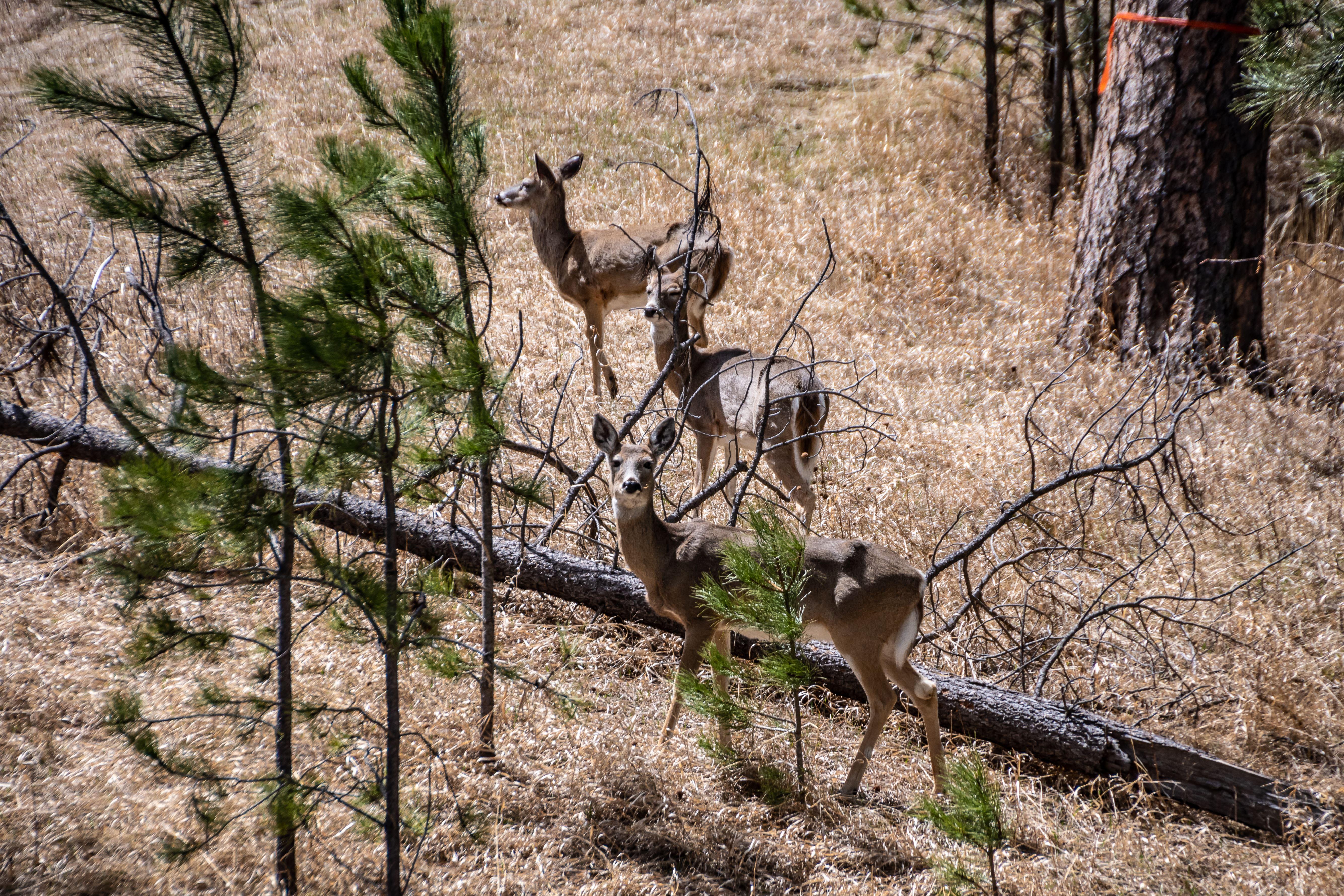Attracting Deer