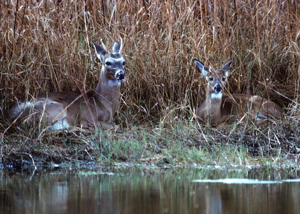 deer bedding areas
