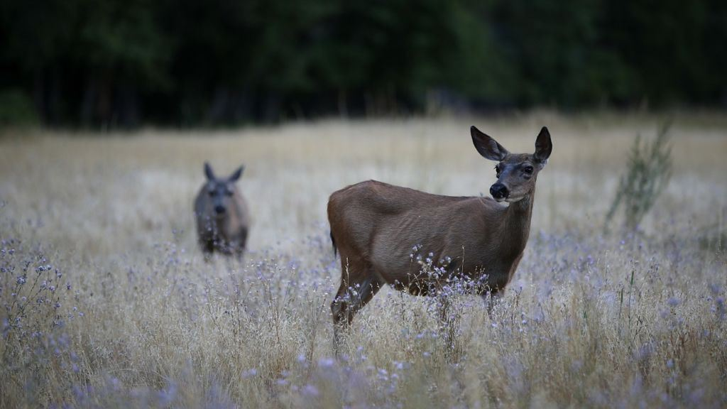 How Do Deer Behave During the Rut